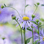 Autumn Asters Poster by Jacky Parker