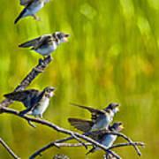 Baby Tree Swallows Feeding #1 Poster by John Stoj