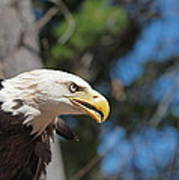 Bald Eagle At Mclane Center Poster by Peter Gray