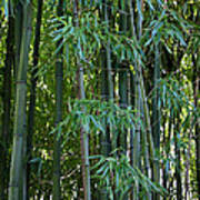 Bamboo Tree Poster by Athena Mckinzie