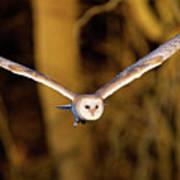Barn Owl In Flight Poster by MarkBridger