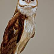 Barn Owl Of Michigan Poster by LeeAnn McLaneGoetz McLaneGoetzStudioLLCcom