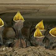 Barn Swallow Hirundo Rustica Chicks Poster by Cyril Ruoso