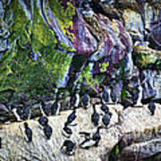 Birds At Cape St. Mary's Bird Sanctuary In Newfoundland Poster by Elena Elisseeva