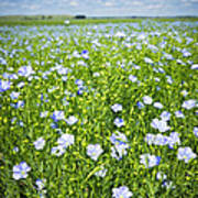 Blooming Flax Field Poster by Elena Elisseeva