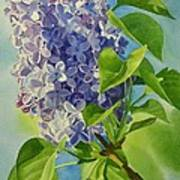 Blue And Lavender Lilacs Poster by Sharon Freeman