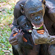 Bonobo 3 Poster by Kenneth Albin