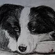 Borden Collie Pup Poster by Joan Pye