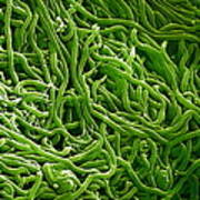 Borrelia Bacteria, Sem Poster by Biomedical Imaging Unit, Southampton General Hospital