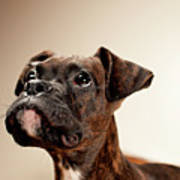 Boxer Puppy Poster by Chad Latta