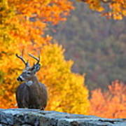 Buck In The Fall 04 Poster by Metro DC Photography