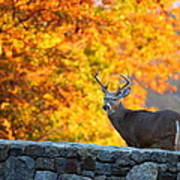 Buck In The Fall 07 Poster by Metro DC Photography