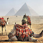 Camel And Pyramids, Caro, Egypt. Poster by Oudi