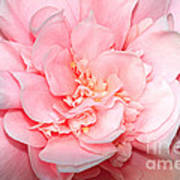 Camellia Poster by Louise Heusinkveld