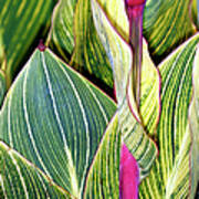 Canna Lily Foliage Poster by Dr Keith Wheeler