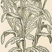 Centaurea Montana, Bachelors Button Poster by Science Source
