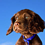 Chocolate Brown Cocker Spaniel Puppy Poster by Andrew Davies