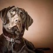 Chocolate Labrador Retriever Portrait Poster by David DuChemin