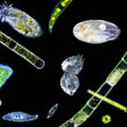 Ciliate Protozoa, Light Micrograph Poster by Laguna Design