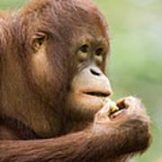 Close-up Of An Orangutan Pongo Pygmaeus Poster by Tim Laman