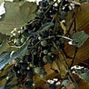 Concord Grapes Poster by Heather Grow