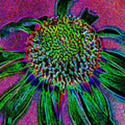 Coneflower Poster by Simone Hester
