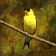 Contemplating Goldfinch Poster by J Larry Walker