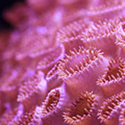 Coral Close-up II Poster by Adam Pender