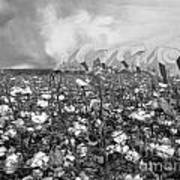 Cotton Field Poster by Belinda Threeths