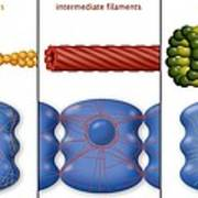 Cytoskeleton Components, Diagram Poster by Art For Science
