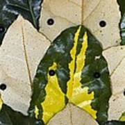 Elaeagnus Pungens 'maculata' Leaves Poster by Dr Keith Wheeler