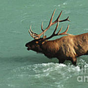 Elk In The Athabasca River Poster by Bob Christopher
