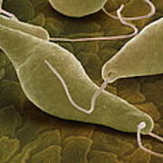 Euglena Gracilis, Sem Poster by Power And Syred