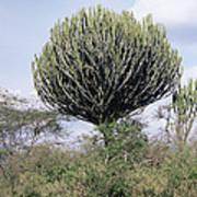 Euphorbia Candelabrum Poster by Adrian T Sumner