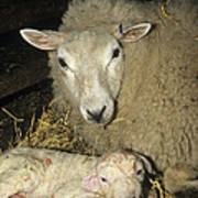 Ewe And New Born Lamb Poster by David Aubrey