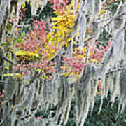 Fall Colors In Spanish Moss Poster by Carolyn Marshall