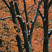 Fall Foliage Of Maple Trees After An Poster by Tim Laman