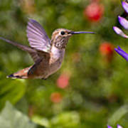 Female Allen's Hummingbird Poster by Mike Herdering
