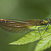 Female Banded Demoiselle Damselfly Poster by Dr Keith Wheeler