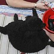 Female Poodle Gives Birth Poster by Photostock-israel