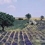 Field Of Lavender. Sault. Vaucluse Poster by Bernard Jaubert