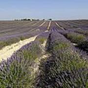 Field Of Lavender. Valensole. Provence Poster by Bernard Jaubert