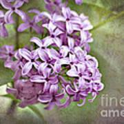 Fragrant Purple Lilac Poster by Cheryl Davis