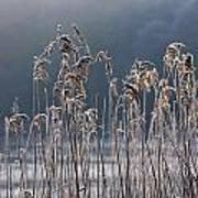 Frozen Reeds At The Shore Of A Lake Poster by John Short