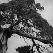 Gnarly Cedar Tree Poster by Teresa Mucha