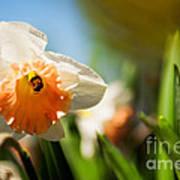 Golden Daffodils  Poster by Venura Herath