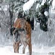 Great Dane Rufus Looking Into A Blizzard Poster by Lila Fisher-Wenzel