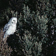 Great Gray Owl Strix Nebulosa In Blonde Poster by Michael Quinton