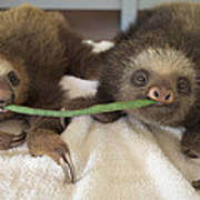 Hoffmanns Two-toed Sloth Orphans Eating Poster by Suzi Eszterhas