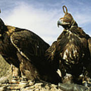 Hooded Eagles Stand Ready For Hunting Poster by Ed George